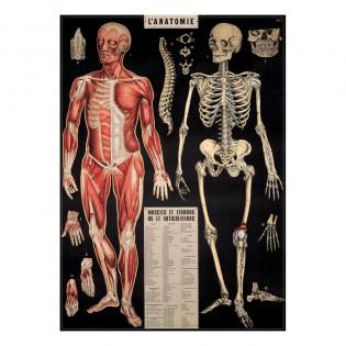 Affiche Anatomie - Cavallini